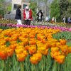 2013-5-Tulpen-Morges17