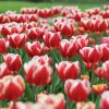 2013-5-Tulpen-Morges44