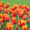 2013-5-Tulpen-Morges48