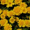 Tagetes patula Yellow Jacket